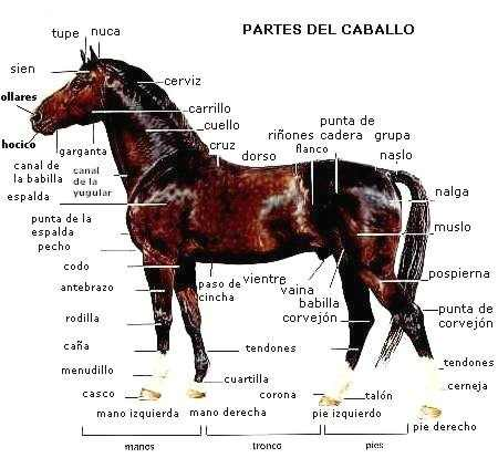 Partes del caballo