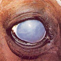 Enfermedades oculares del caballo