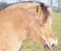 Pony fiordos